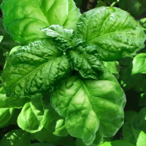 basilikum salat