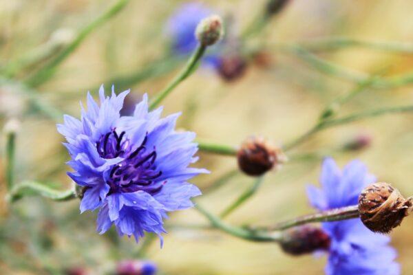 kornblomst blå