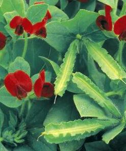 aspargesært frø