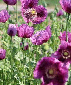 opiumsvalmue