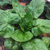 Spinat frø