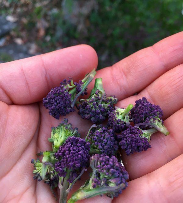 lilla broccoli frø