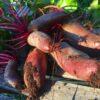rødbede frø