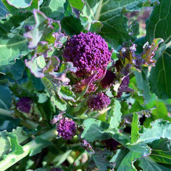 lille broccoli