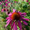Echinacea frø